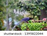 taiwan blue magpie  urocissa...   Shutterstock . vector #1395822044