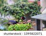 taiwan blue magpie  urocissa...   Shutterstock . vector #1395822071