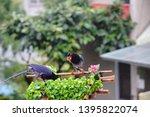 taiwan blue magpie  urocissa...   Shutterstock . vector #1395822074