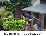 taiwan blue magpie  urocissa...   Shutterstock . vector #1395822107