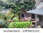 taiwan blue magpie  urocissa...   Shutterstock . vector #1395822131