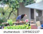 taiwan blue magpie  urocissa...   Shutterstock . vector #1395822137