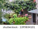 taiwan blue magpie  urocissa...   Shutterstock . vector #1395834101