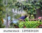 taiwan blue magpie  urocissa...   Shutterstock . vector #1395834104