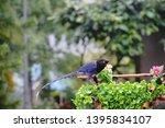taiwan blue magpie  urocissa...   Shutterstock . vector #1395834107