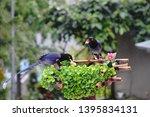 taiwan blue magpie  urocissa...   Shutterstock . vector #1395834131
