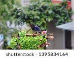 taiwan blue magpie  urocissa...   Shutterstock . vector #1395834164