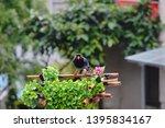 taiwan blue magpie  urocissa...   Shutterstock . vector #1395834167