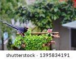 taiwan blue magpie  urocissa...   Shutterstock . vector #1395834191