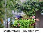 taiwan blue magpie  urocissa...   Shutterstock . vector #1395834194