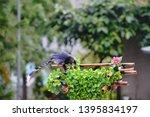 taiwan blue magpie  urocissa...   Shutterstock . vector #1395834197
