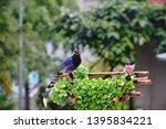 taiwan blue magpie  urocissa...   Shutterstock . vector #1395834221