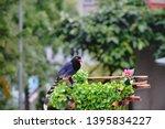 taiwan blue magpie  urocissa...   Shutterstock . vector #1395834227