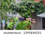 taiwan blue magpie  urocissa...   Shutterstock . vector #1395834251