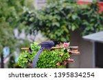 taiwan blue magpie  urocissa...   Shutterstock . vector #1395834254