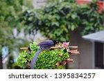 taiwan blue magpie  urocissa...   Shutterstock . vector #1395834257