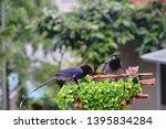 taiwan blue magpie  urocissa...   Shutterstock . vector #1395834284