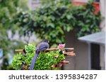taiwan blue magpie  urocissa...   Shutterstock . vector #1395834287