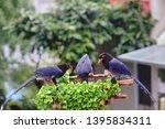 taiwan blue magpie  urocissa...   Shutterstock . vector #1395834311