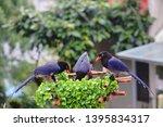 taiwan blue magpie  urocissa...   Shutterstock . vector #1395834317