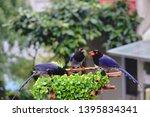 taiwan blue magpie  urocissa...   Shutterstock . vector #1395834341