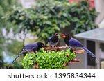 taiwan blue magpie  urocissa...   Shutterstock . vector #1395834344