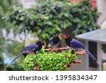taiwan blue magpie  urocissa...   Shutterstock . vector #1395834347