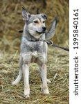 light gray dog half breed on a... | Shutterstock . vector #1395840161