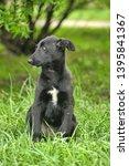 black puppy for a walk on grass | Shutterstock . vector #1395841367