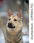 half breed sheepdog on a winter ... | Shutterstock . vector #1395841751
