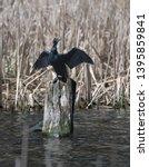 Black Cormorant Wings Spread...