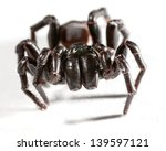 A Funnel Web Spider On White