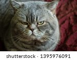 grumpy british shorthair cat in ... | Shutterstock . vector #1395976091