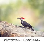 Pileated Woodpecker Male On A...