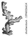 dendrophyllia is a genus of... | Shutterstock .eps vector #1396026614