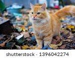 Orange Cat On Outdoor Garden...
