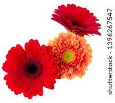 three   orange and red gerbera... | Shutterstock . vector #1396267547