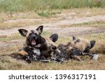 rare sighting of pack of... | Shutterstock . vector #1396317191