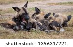 pack of rare african wild dogs  ... | Shutterstock . vector #1396317221