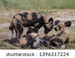 pack of rare african wild dogs  ... | Shutterstock . vector #1396317224
