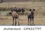 rare sighting of african wild... | Shutterstock . vector #1396317797