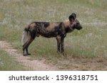 rare african wild dog  seen... | Shutterstock . vector #1396318751