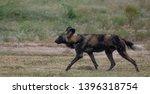 rare african wild dog  seen... | Shutterstock . vector #1396318754