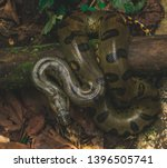The Anaconda is one of the largest snakes in the boa family. An Ariel, birds eye view of an anaconda in the jungle.