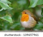 Robin Bird Photo Taken In His...