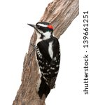 A Suspicious Woodpecker Clings...