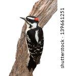 A Suspicious Woodpecker Clings...