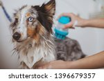 Stock photo cropped close up of adorable blue eyed dog enjoying backrubs during grooming at the salon cute 1396679357