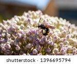 Megascolia Maculata Flavifrons...