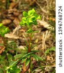 flowers of cypress spurge ... | Shutterstock . vector #1396768724